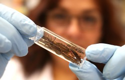UTEP Research Finds High Rate of Texas Bugs Carrying Chagas Disease