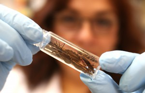 Rosa Maldonado, associate professor of biological sciences, holds a vial filled with kissing bugs. Photo by J.R. Hernandez / UTEP News Service