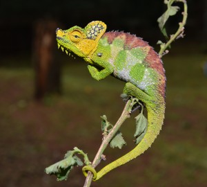 The von Hohnel's chameleon (Triceros hoehnelii) of Uganda and Kenya, Africa, will change its body color to black in the cool mornings to effectively capture the sun's heat and warm its body. Photo: Eli Greenbaum